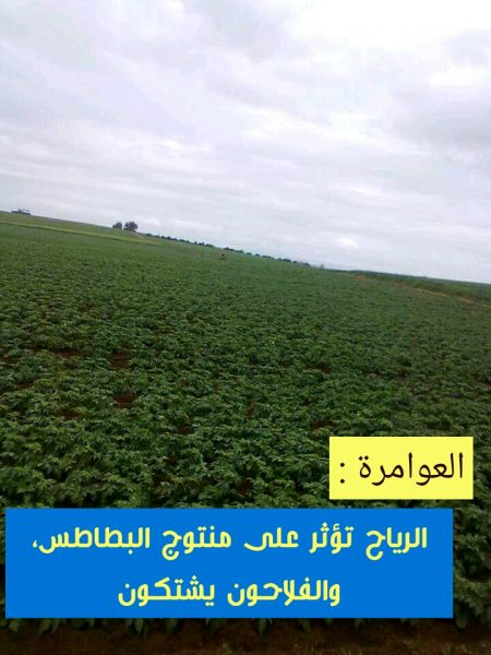 العوامرة : الرياح تؤثر على منتوج البطاطس ، والفلاحون يشتكون