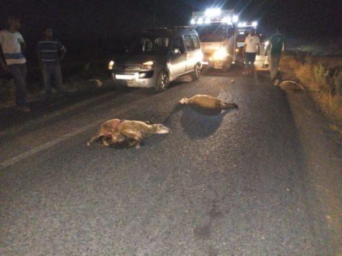 البواشتة : سيارة تدهس قطيعا من الأغنام و الأهالي يحاصرون سائقها